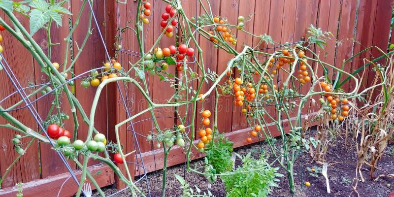 Uma recompensa de tomates frescos e deliciosos do quintal fotos de stock royalty free