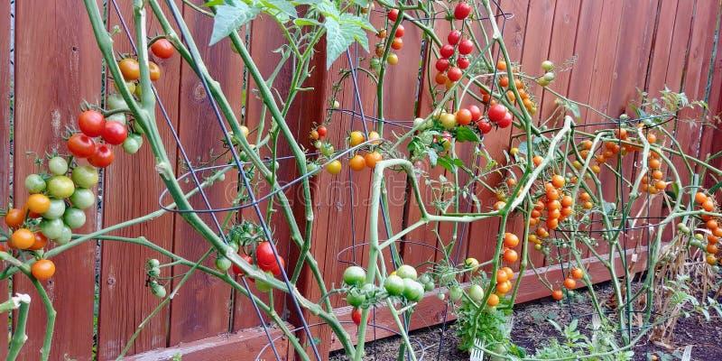 Uma recompensa de vegetais frescos e deliciosos do quintal imagens de stock