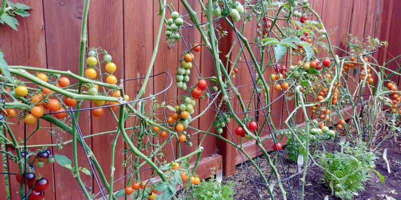 Uma recompensa de vegetais frescos e deliciosos do quintal fotos de stock