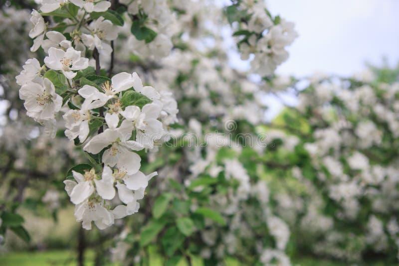 Uma refeição matinal da árvore de maçã de florescência foto de stock royalty free