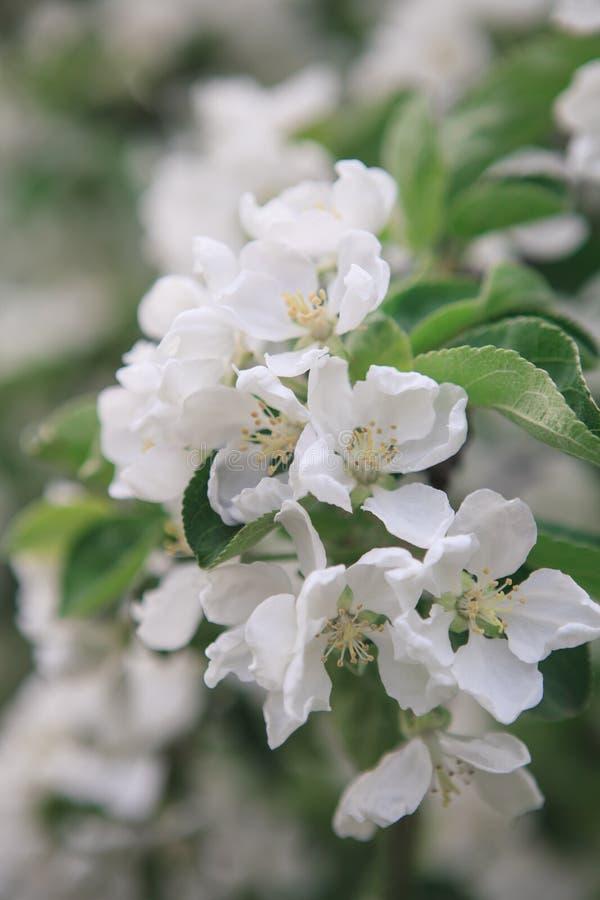 Uma refeição matinal da árvore de maçã de florescência fotografia de stock royalty free