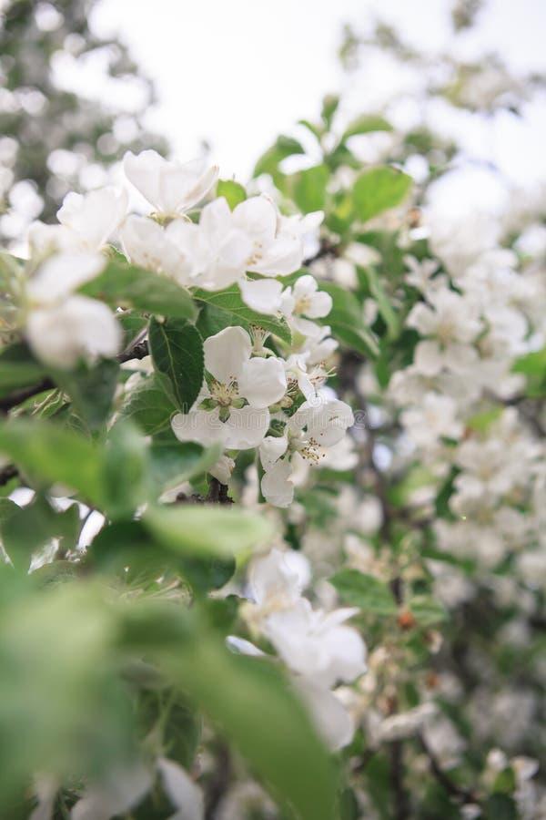 Uma refeição matinal da árvore de maçã de florescência fotos de stock