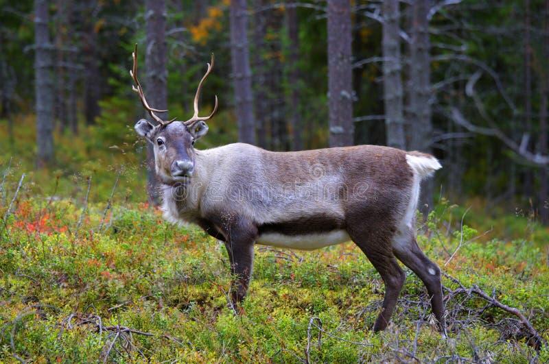 Uma rena antlered na floresta do pinho imagens de stock royalty free