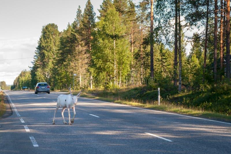 Uma rena branca nova anda ao longo da estrada fotos de stock