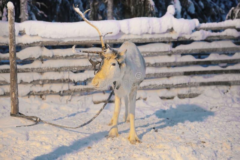Uma rena do chifre em Ruka em Lapland em Finlandia fotografia de stock