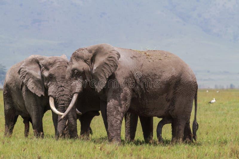 Uma reunião Dois elefantes enormes dentro da cratera de Ngorongoro Tanzânia, África imagem de stock royalty free