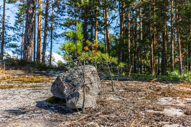 Uma rocha e um pequeno pínus no Parque Nacional de Linnansaari, na Finlândia imagens de stock