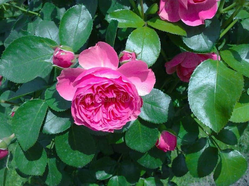 Uma rosa fotografia de stock royalty free