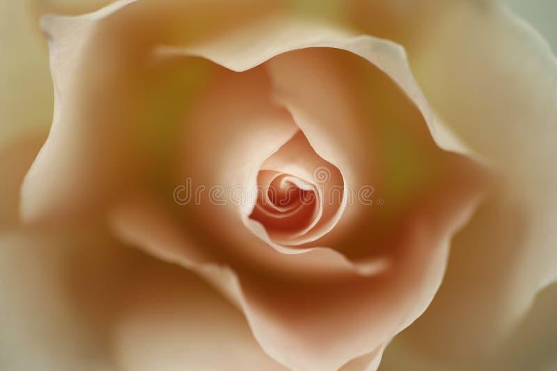 Uma rosa ilustração stock
