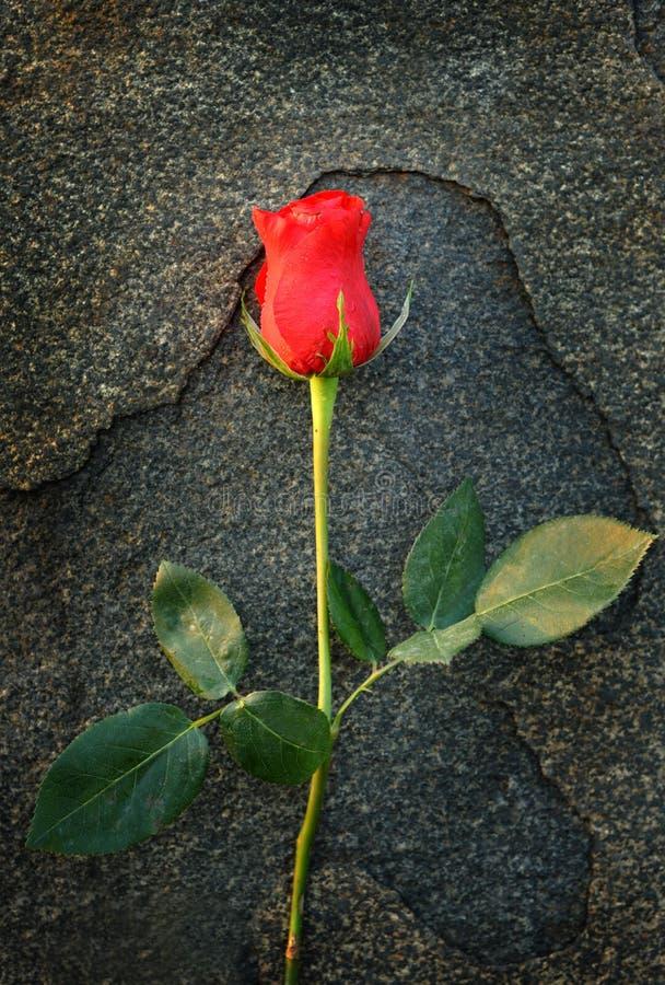 Uma rosa imagem de stock royalty free