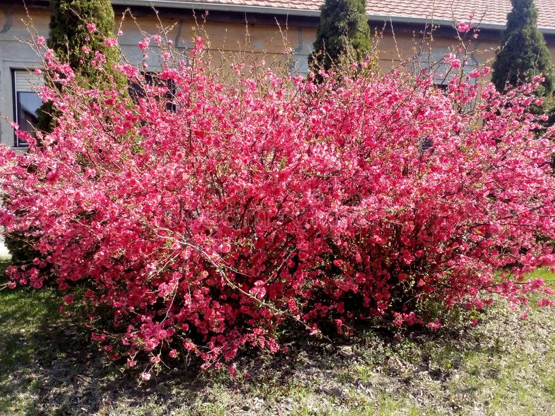 Uma Rosa arbusto bonita do Vojvodina imagem de stock royalty free