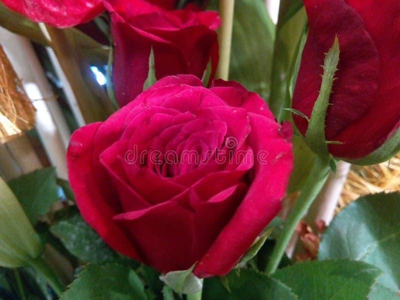 Uma rosa bonita do vermelho com cor perfeita foto de stock royalty free