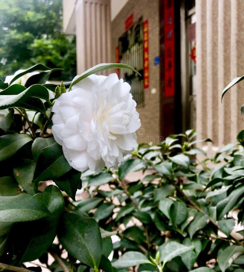Uma rosa branca fotografia de stock