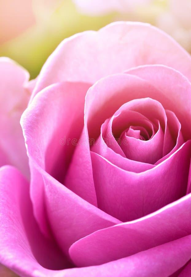 Uma rosa cor-de-rosa banhada na luz solar imagem de stock royalty free