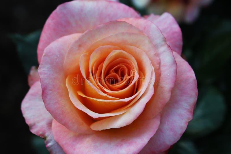 Uma Rosa cor-de-rosa foto de stock