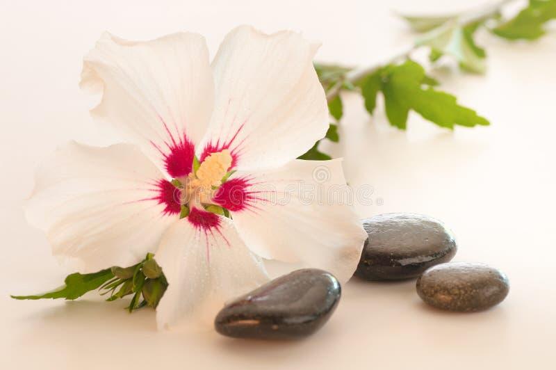 Uma Rosa encantadora da flor de Sharon na luz fotos de stock royalty free