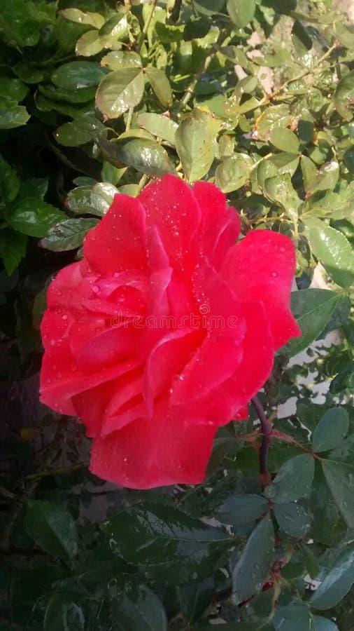 Uma Rosa fresca com gotas inocentes da água fotografia de stock