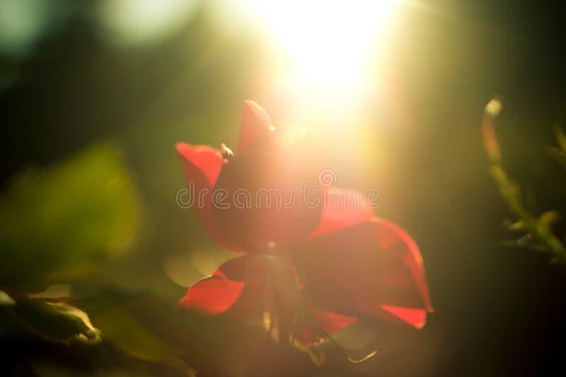 Uma rosa que aprecia a luz solar imagens de stock royalty free