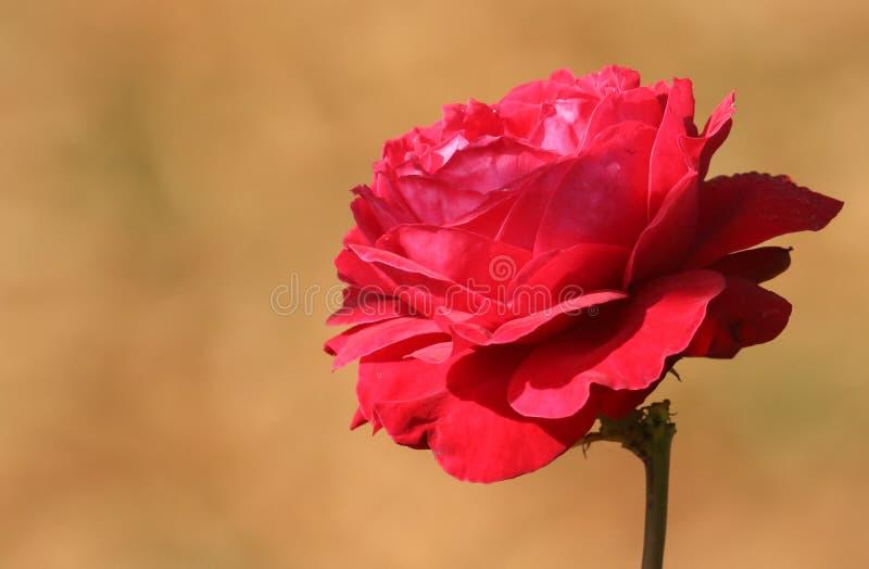 Uma Rosa vermelha inglesa bonita que cresce crescente em um jardim do país foto de stock royalty free
