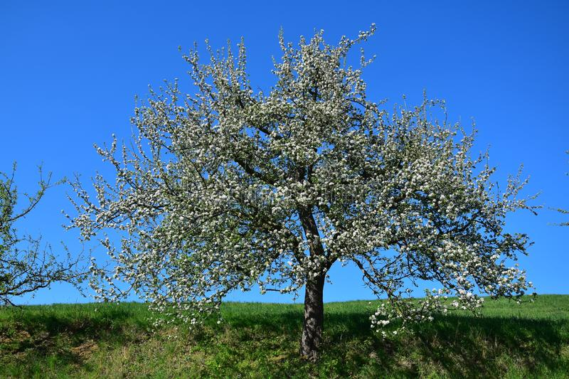 Uma ?rvore branco-florescida na mola no Odenwald, Alemanha imagens de stock royalty free