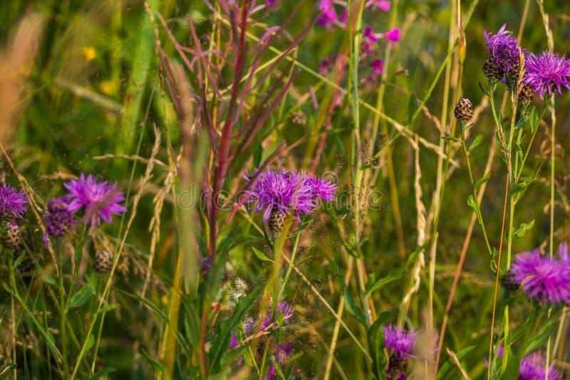 Uma série de flores do campo de Rússia A costa do lago Michurinsk fotos de stock
