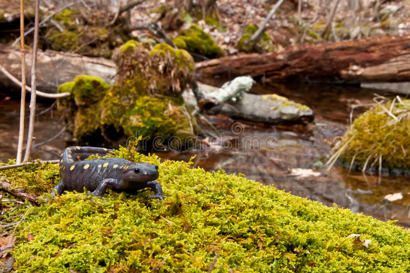 Salamandra manchada foto de stock
