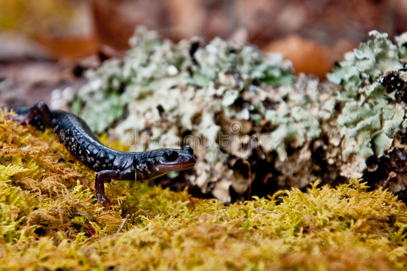 Download Salamandra viscoso foto de stock. Imagem de cute, foraging - 29834056