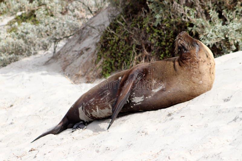 Uma secagem masculina do leão de mar do mamífero na baía do selo na ilha do canguru foto de stock