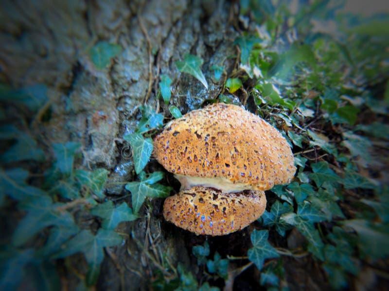 Uma seiva de infiltração do cogumelo de uma árvore fotos de stock
