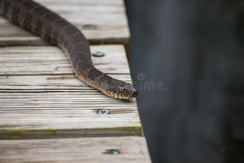Uma serpente de água do norte comum descansa em um cais por um lago fotos de stock