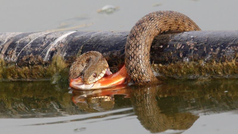 Uma serpente de água que tem uma refeição dourada imagens de stock royalty free