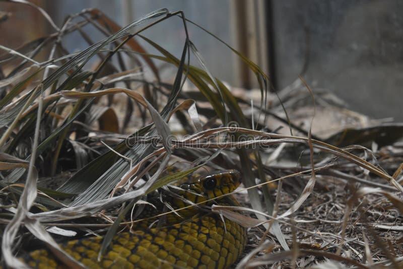 Uma serpente de rato em jardins zoológicos, Dehiwala Colombo, Sri Lanka fotografia de stock royalty free