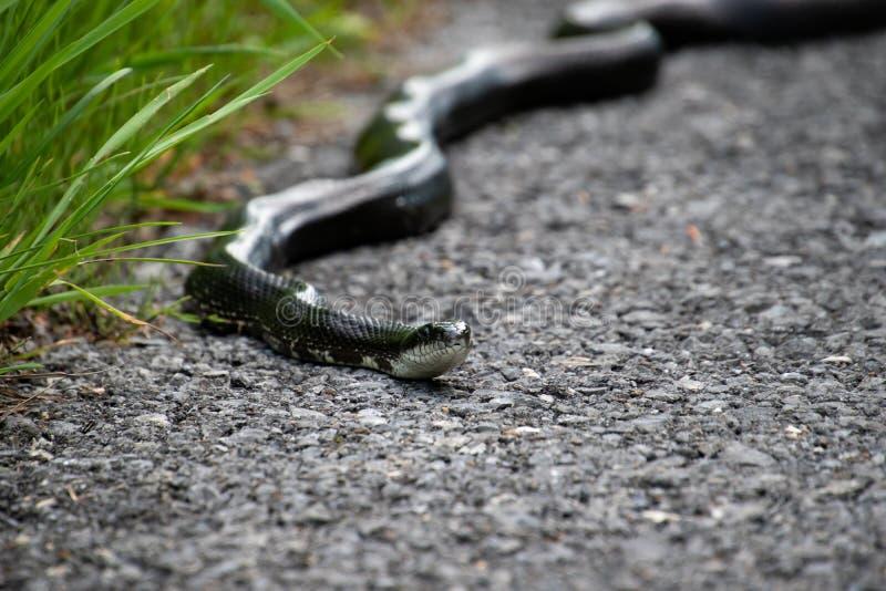 Uma serpente de rato que viaja em uma estrada ao longo da grama imagens de stock royalty free