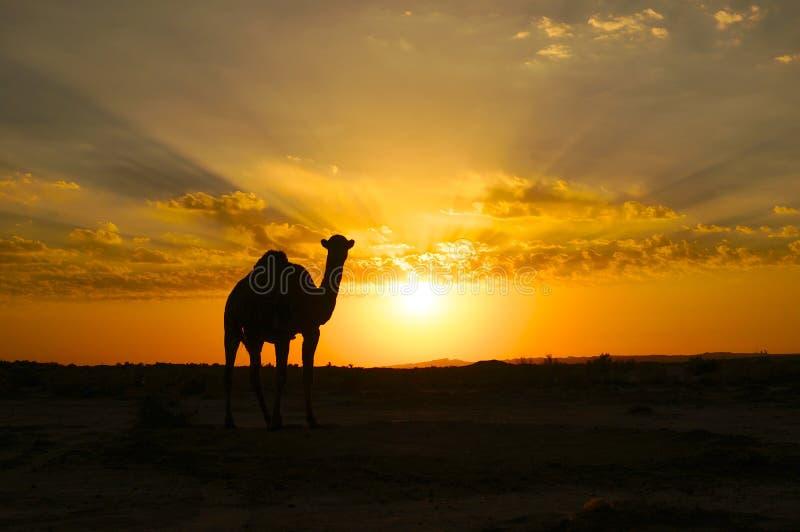 Uma silhueta do camelo no por do sol imagem de stock