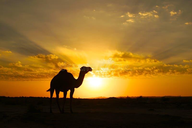 Uma silhueta do camelo no por do sol imagem de stock royalty free