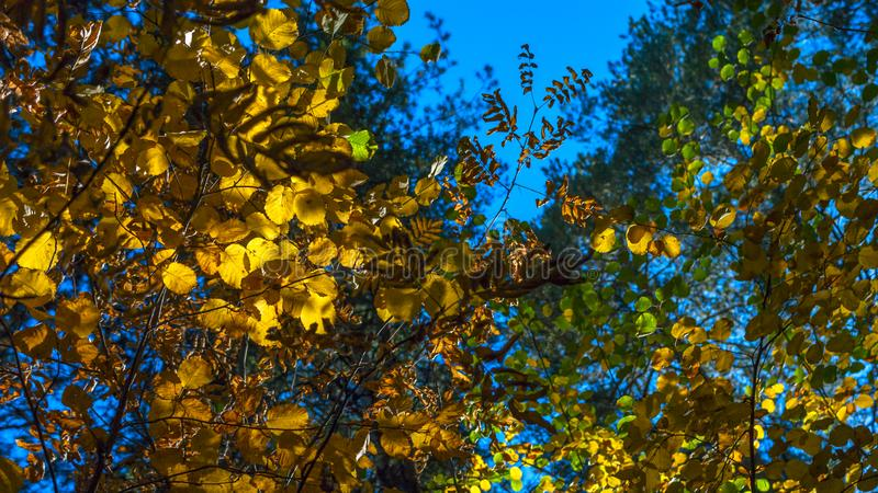 Uma tarde em Autumn Forest Looking Up The Crown das folhas verdes, amarelas, douradas com Sunny Highlights Autumn Colors, Chan imagem de stock