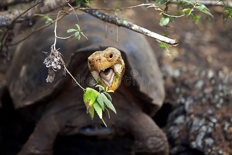 Uma tartaruga de Galápagos imagens de stock
