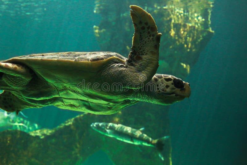 Uma tartaruga de mar no jardim zoológico do Madri foto de stock royalty free