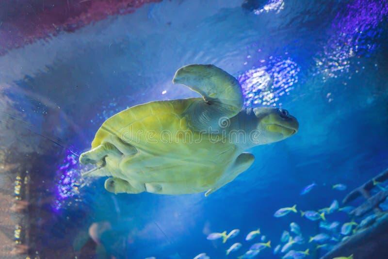 Uma tartaruga de mar vista no aquário fotos de stock