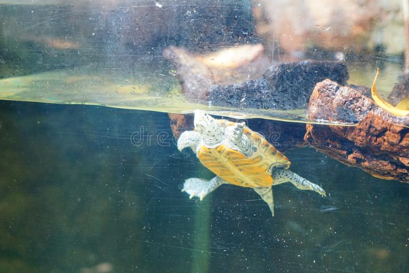 Uma tartaruga está nadando fotos de stock royalty free