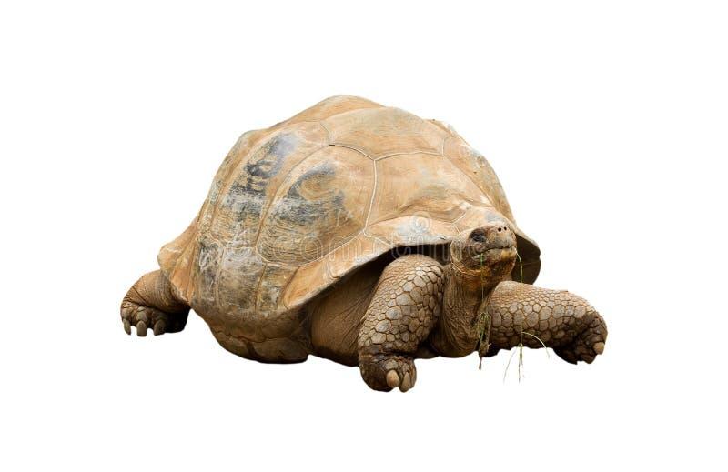 Uma tartaruga gigante de Aldabra (gigantea do Geochelone) fotos de stock royalty free