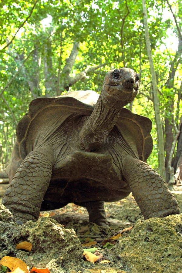 Uma tartaruga gigante elevada de Aldabra imagens de stock royalty free