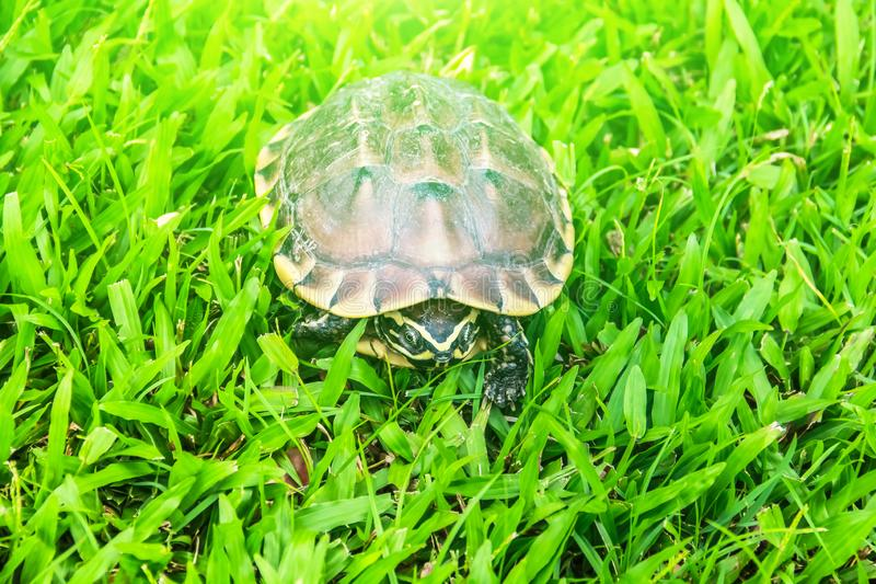 Uma tartaruga marrom na jarda da grama verde fotografia de stock
