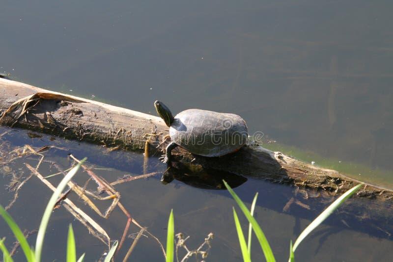 Uma tartaruga que expõe-se ao sol em um log imagens de stock