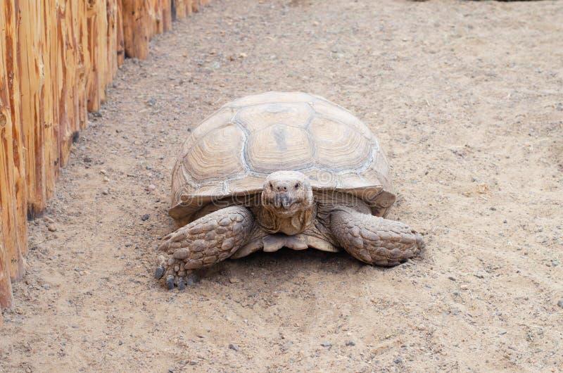 Uma tartaruga viva enorme que rasteja através da areia foto de stock