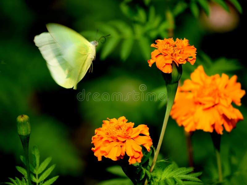 Uma tentativa da borboleta do voo a sentar-se para baixo em uma flor amarela bonita em meu jardim foto de stock royalty free