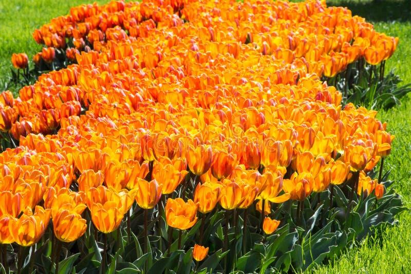 Uma terra muito bonita de tulipas amarelas e alaranjadas fotos de stock