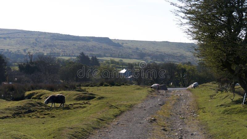 Uma trilha córnico com carneiros foto de stock royalty free