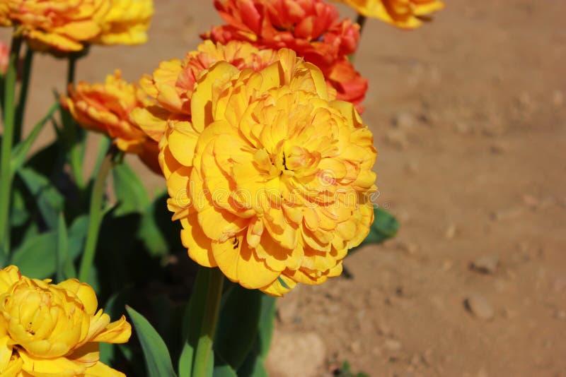 Uma tulipa alaranjada fotos de stock