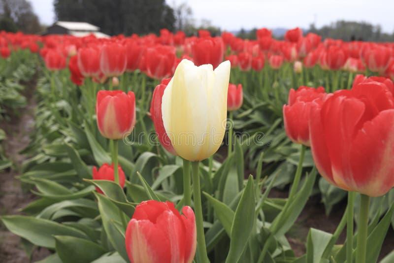 uma tulipa branca que cresce em uma fileira vermelha da tulipa imagens de stock